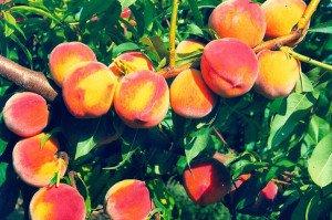 Популярные сорта персика