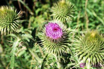 Растение Расторопша польза и вред